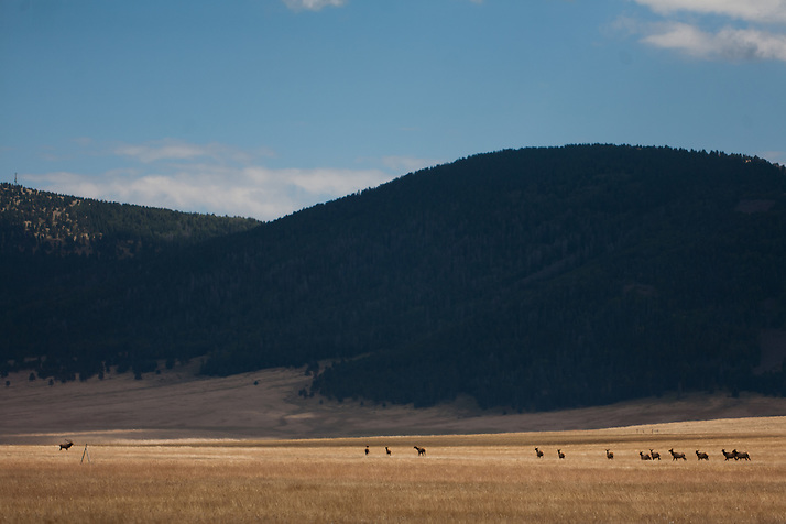 Elk run in a field inside the Villes Cladera in Northern New Mexico. Santa Clara Pueblo has received $6,513,000 in stimulus funds to promote healthy forests and reduce hazardous fuels. (Steven St. John)