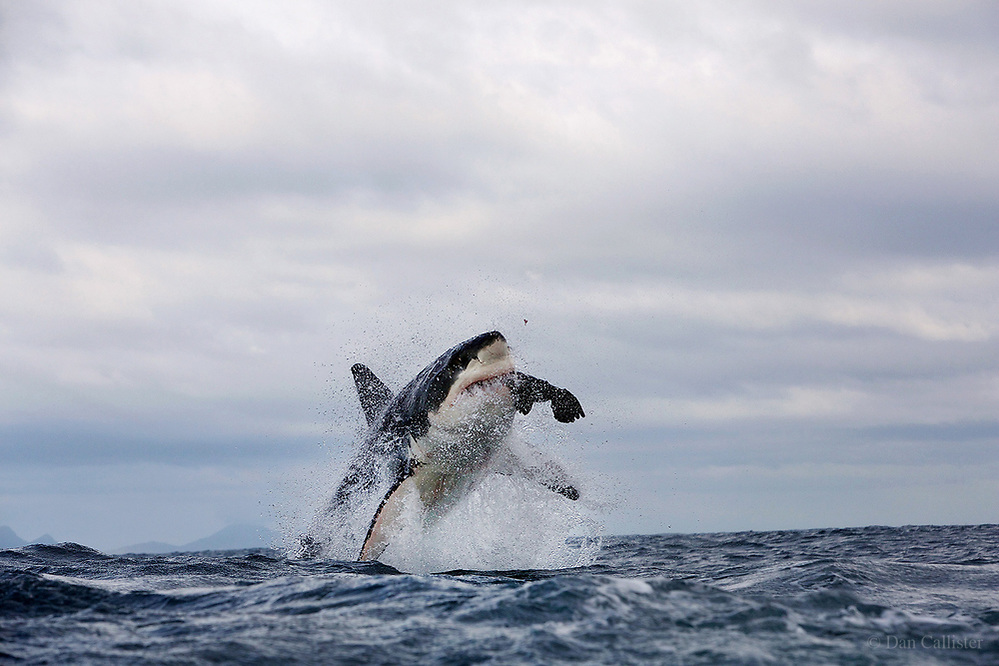 THE ANATOMY OF A GREAT WHITE SHARK BELLY FLOP! | Dan Callister ...