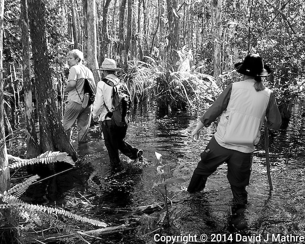 Feet are now wet. Swamp walk with Kristen and Angela in the Everglades behind Clyde Butcher's Big Cypress Gallery. Image taken with a Leica X2 camera (ISO 100, 24 mm, f/3.5, 1/50 sec). (David J Mathre)