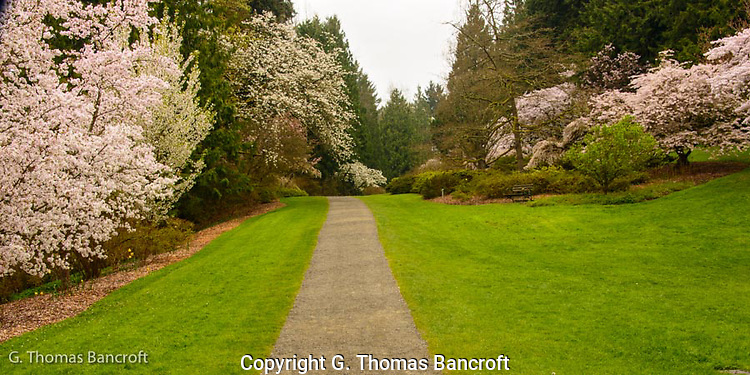The cherry trees along azalea way were in full bloom at the University of Washington's arboretum (G. Thomas Bancroft)
