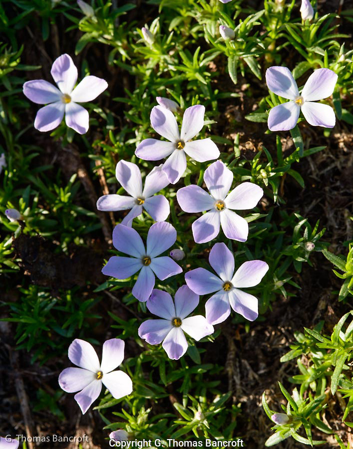 The spreading phlox added some color to the alpine meadows. (G. Thomas Bancroft)