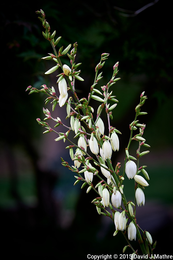 Yucca flowers starting to bloom -- The deer haven't eaten them yet. Image taken with Nikon D4 camera and 200 mm f/2 VR lens (ISO 100, 200 mm, f/4, 1/125 sec). Raw image processed with Capture One Pro 8, Focus Magic, and Photoshop CC. (David J Mathre)