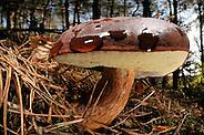 Bay Bolete (Boletus badius) | Maronen-Röhrling (Boletus badius, syn. Xerocomus badius) (Solvin Zankl)