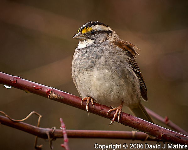 White-throated Sparrow on a Vine. Backyard Winter Nature in New Jersey. Image taken with a Nikon D2xs camera and 70-200 mm VR lens (ISO 200, 200 mm, f/2.8, 1/320 sec) (David J Mathre)