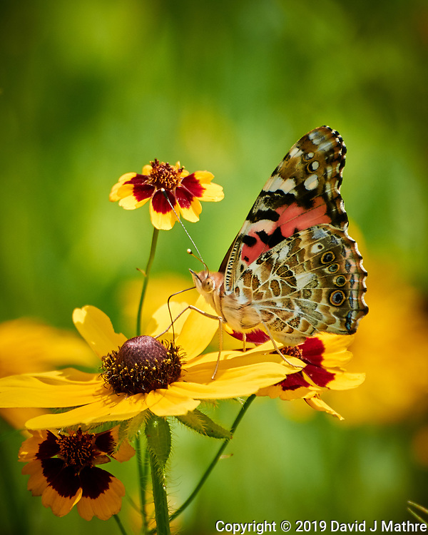 Painted Lady Butterfly on a Coneflower Flower. Image taken with a Nikon 1 V3 camera and 70-300 mm VR lens. (DAVID J MATHRE)