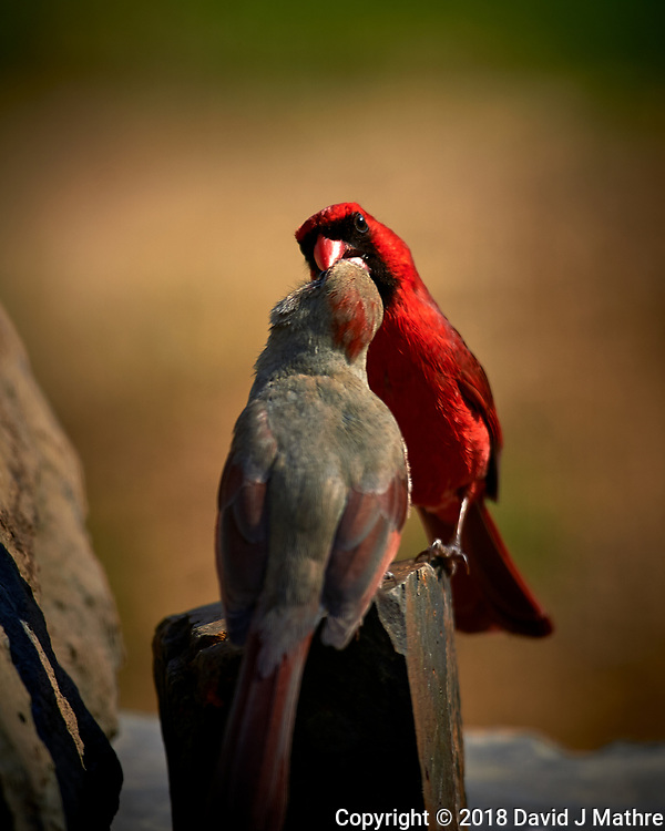 Male Northern Cardinal Feeding a Female. (Courtship Behavior???). Image taken with a Nikon D4 camera and 600 mm f/4 VR lens (ISO 100, 600 mm, f/4, 1/800 sec) (David J Mathre)