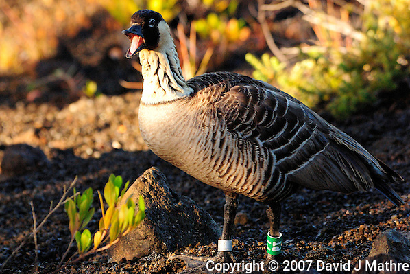Nene - Hawaiian Goose, Volcanoes National Park Hawaii. Image taken with a Nikon D2xs and 80-400 mm VR lens (ISO 400, 400 mm, f/8, 1/180 sec) (David J. Mathre)