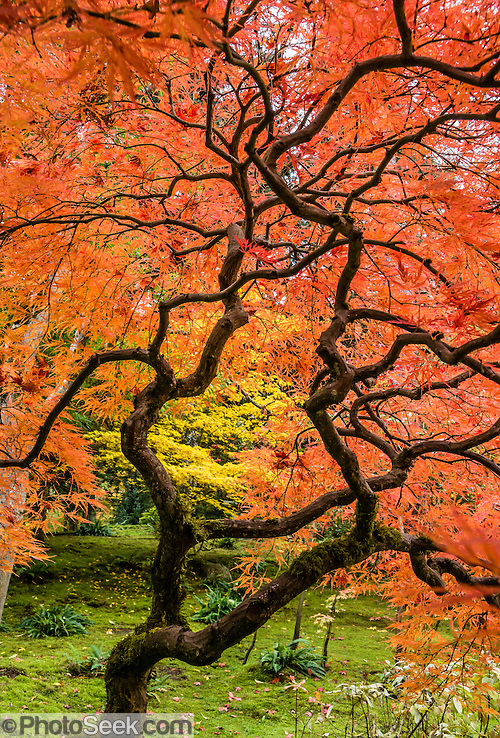 A Japanese maple turns orange in autumn. The Seattle Japanese Garden was completed in 1960 within UW's Washington Park Arboretum. Address: 1075 Lake Washington Blvd E, Seattle, Washington 98112, USA. (© Tom Dempsey / PhotoSeek.com)