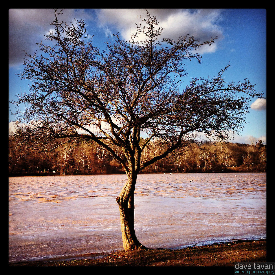The muddy Schuylkill River overflows its banks to a tree on the east side of the river on January 31, 2013 after heavy rains that morning. (Dave Tavani)