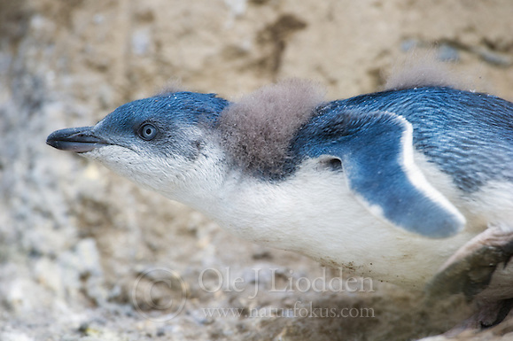 Juvenile White-flippered Penguin (Eudyptula minor albosignata) in Canteburry, New Zealand (Ole Jørgen Liodden)