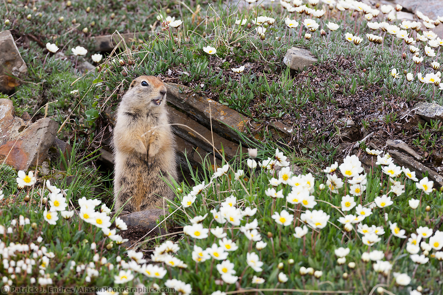 Ground squirrel and mountain aven wildflowers, Utukok Uplands, National Petroleum Reserve Alaska, Arctic, Alaska. (Patrick J. Endres / AlaskaPhotoGraphics.com)