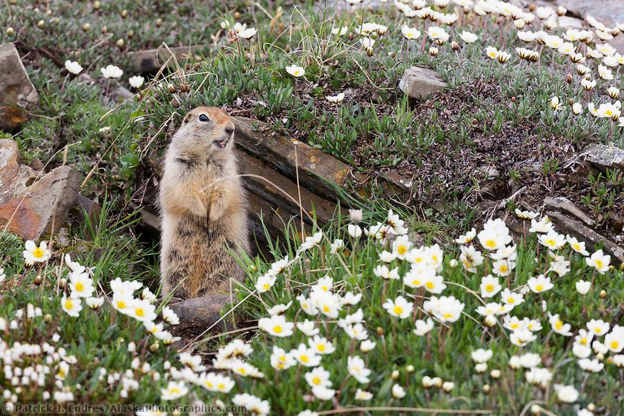 Ground squirrel and mountain aven wildflowers, Utukok Uplands, National Petroleum Reserve Alaska, Arctic, Alaska. (Patrick J. Endres / AlaskaPhotoGraphics.com)