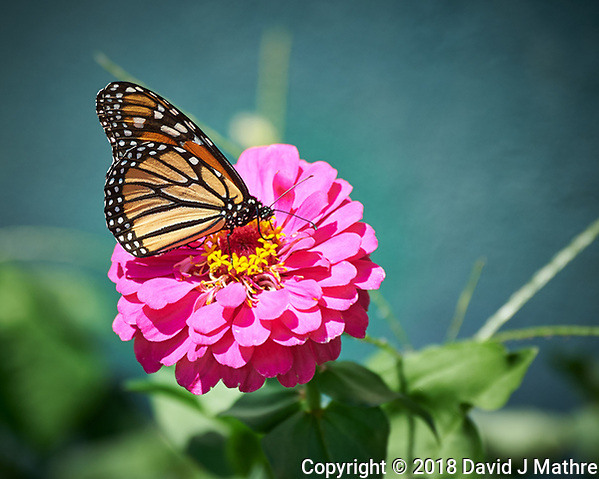 Monarch Butterfly on a Pink Zinnia Flower. Image taken with a Nikon Df camera and 80-400 mm VRII lens (ISO 280, 400 mm, f/5.6, 1/500 sec). (DAVID J MATHRE)