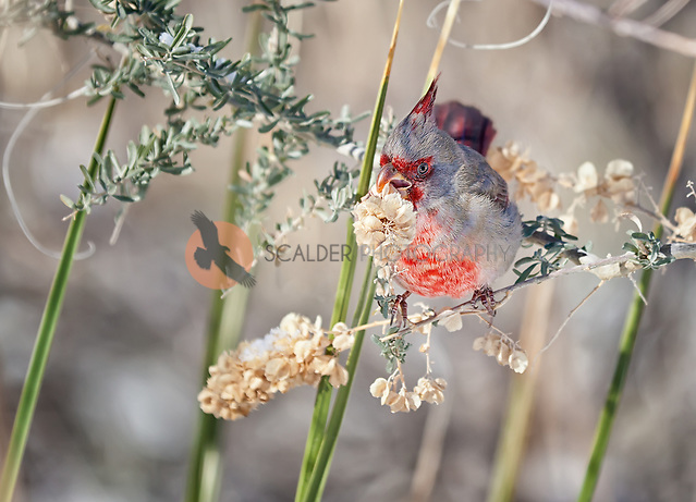 Male Pyrrhuloxia eating flowering plant outside Bosque del Apache Wild Life Refuge Visitor Center (sandra calderbank)
