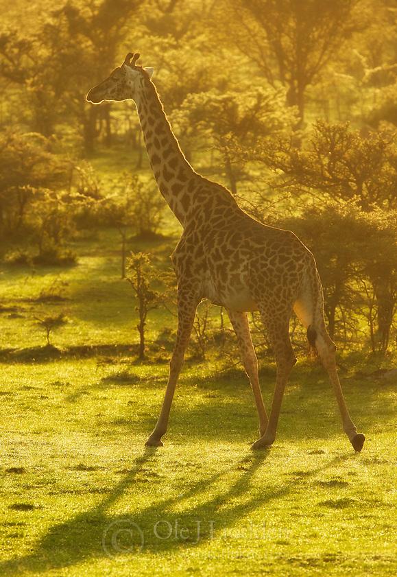 Giraffe (Giraffa camelopardalis) in Masai Mara, Kenya (Ole Jørgen Liodden)
