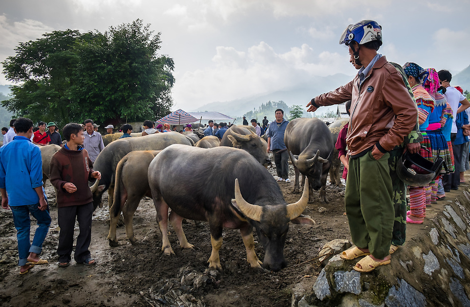 BAC HA, VIETNAM - CIRCA SEPTEMBER 2014:  Buffalo trading at the  Bac Ha sunday market, the biggest minority people market in Northern Vietnam (Daniel Korzeniewski)