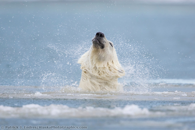 Polar bear shakes off water while swimming in the Beaufort Sea, Arctic, Alaska. (Patrick J Endres / AlaskaPhotoGraphics.com)
