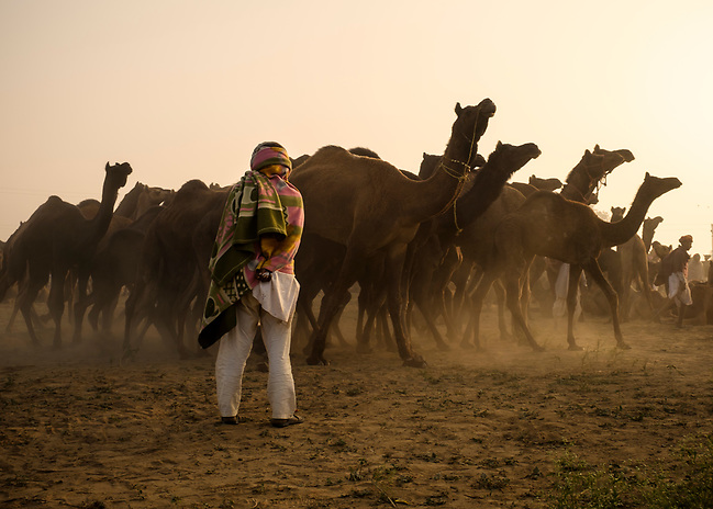 PUSHKAR, INDIA - CIRCA NOVEMBER 2016: Camel herder early morning in the Pushkar Camel Fair grounds. It is one of the world's largest camel fairs. Apart from the buying and selling of livestock, it has become an important tourist attraction. (Daniel Korzeniewski)