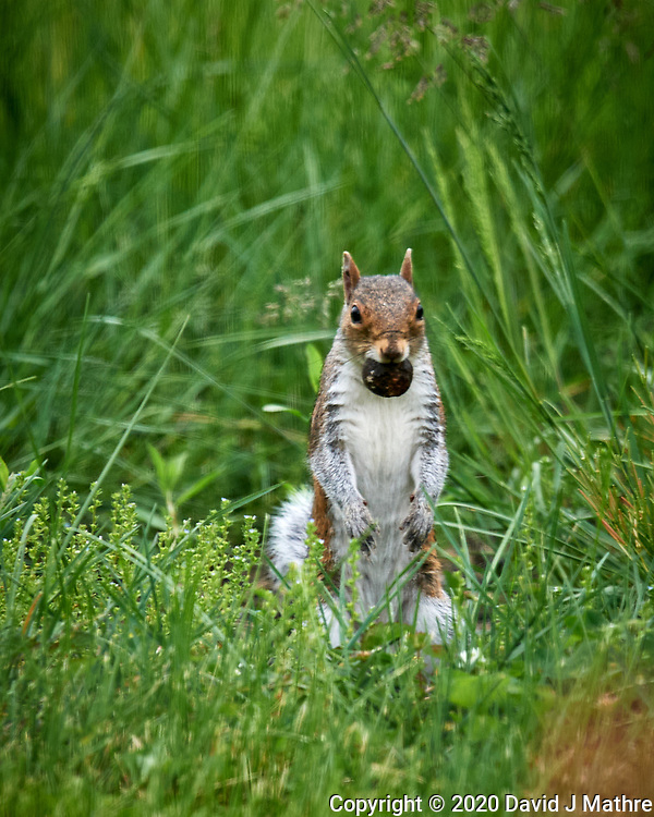 Squirrel with a Black Wallnut.  Image taken with a Nikon D5 camera and 600 mm f/4 VR telephoto lens. (DAVID J MATHRE)
