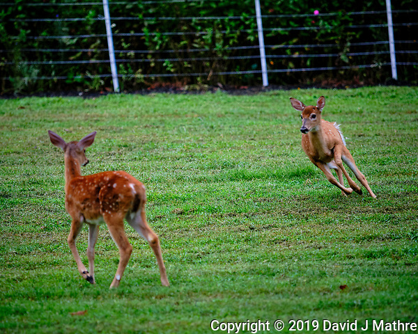 Two Fawns. Image taken with a Fuji X-T3 camera and 200 mm f/2 OIS lens (ISO 1000, 200 mm, f/2, 1/300 sec). (DAVID J MATHRE)