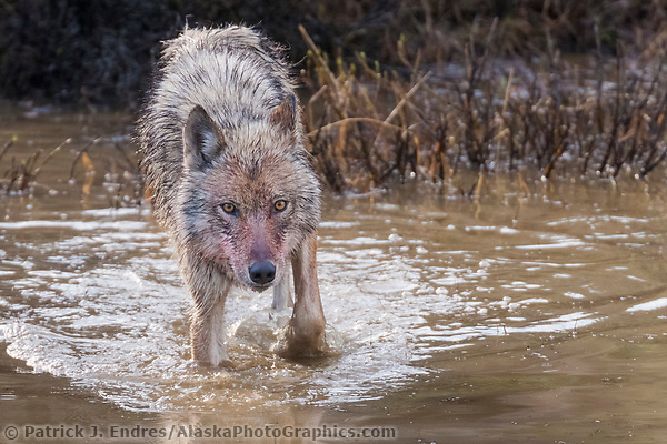 Wolf drinks in a small tundra pond, Denali National Park, Alaska. (Patrick J Endres / AlaskaPhotoGraphics.com)