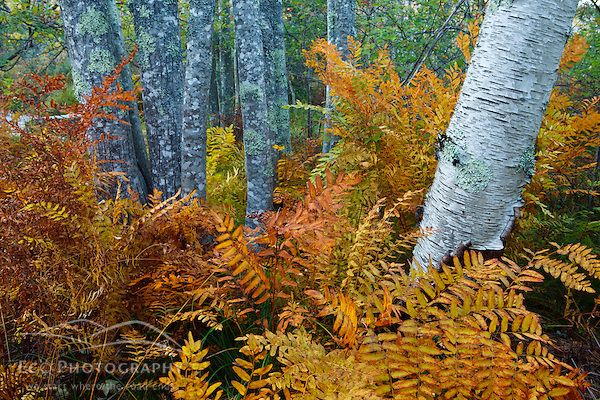 Ferns and tree trunks in the Wild Gardens of Acadia in Maine's Acadia National Park. (Jerry Monkman)