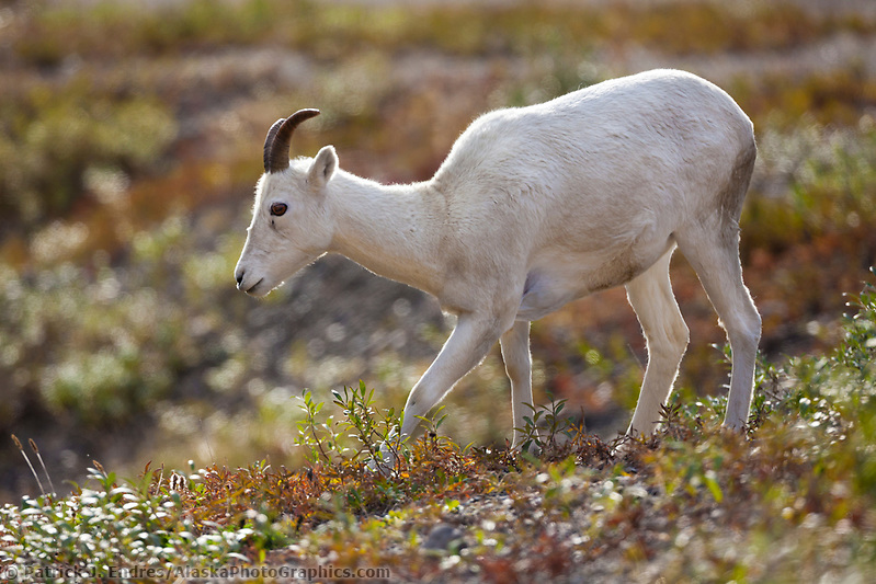 Dall sheep photos: Dall sheep ewe, Atigun pass, Brooks Range mountains, arctic, Alaska. (Patrick J. Endres / AlaskaPhotoGraphics.com)