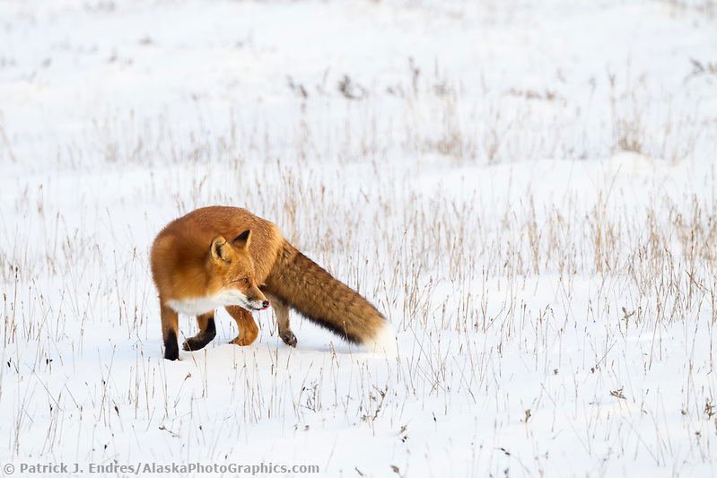 A red fox stands on the snow covered tundra of Alaska's arctic north slope (Patrick J. Endres / AlaskaPhotoGraphics.com)