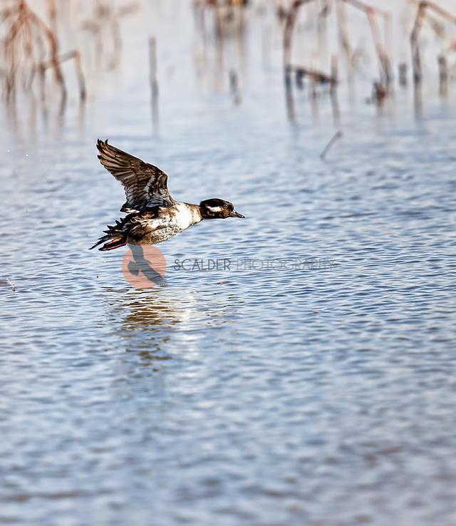 Female Bufflehead in flight over water with wings in upstroke (Sandra Calderbank, sandra calderbank)