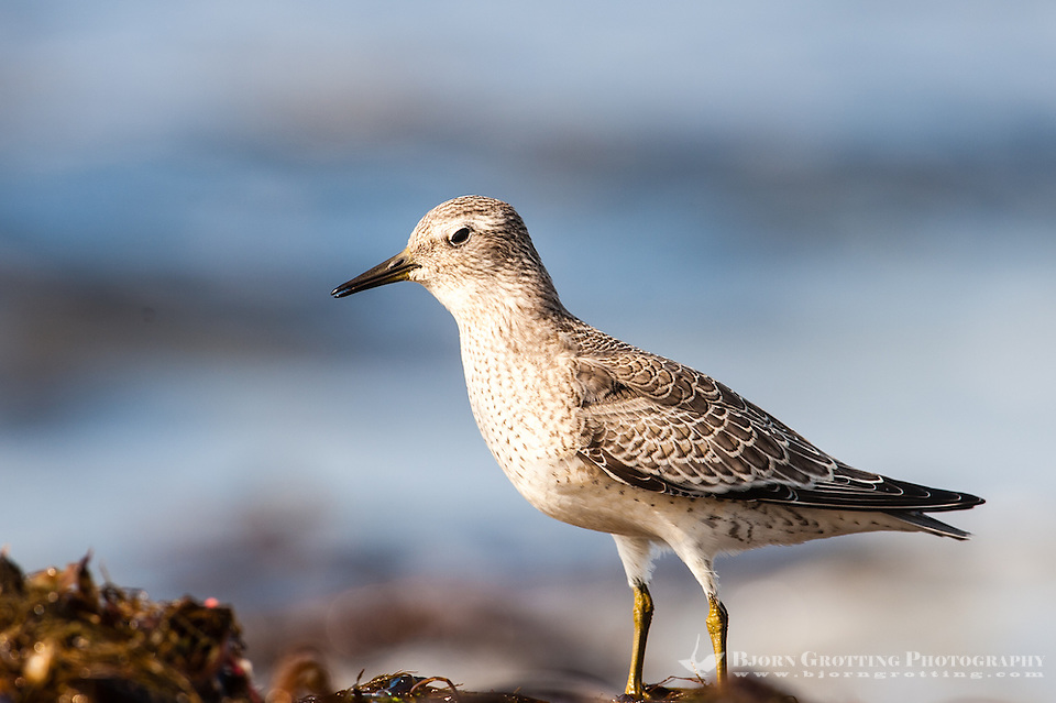 The Wood Sandpiper is a small wader and the smallest of the shanks. At Revtangen on Jaeren, south west Norway. (Photo Bjorn Grotting)
