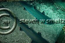White-tip Reef Shark, Triaenodon obesus, (Rüppell, 1837), mano lalakea, Mala Pier, Maui Hawaii (Steven W SMeltzer)