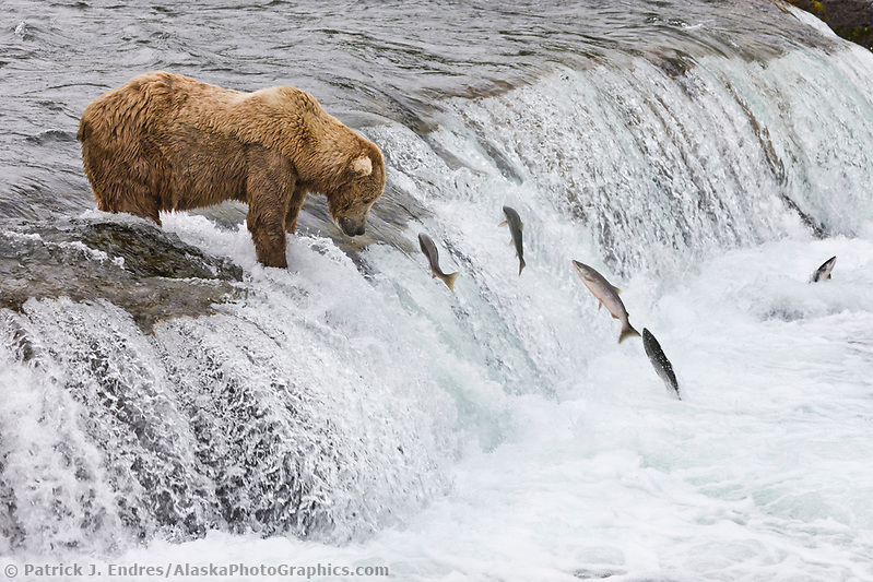 Brown bear fish for red salmon at the falls of Brooks river, Katmai National Park, southwest, Alaska. (Patrick J. Endres / AlaskaPhotoGraphics.com)