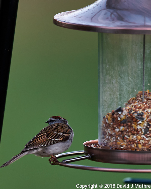 Chipping Sparrow Looking Away. Image taken with a Nikon D4 camera and 600 mm f/4 VR lens (ISO 800, 600 mm, f/4, 1/200 sec) (David J Mathre)