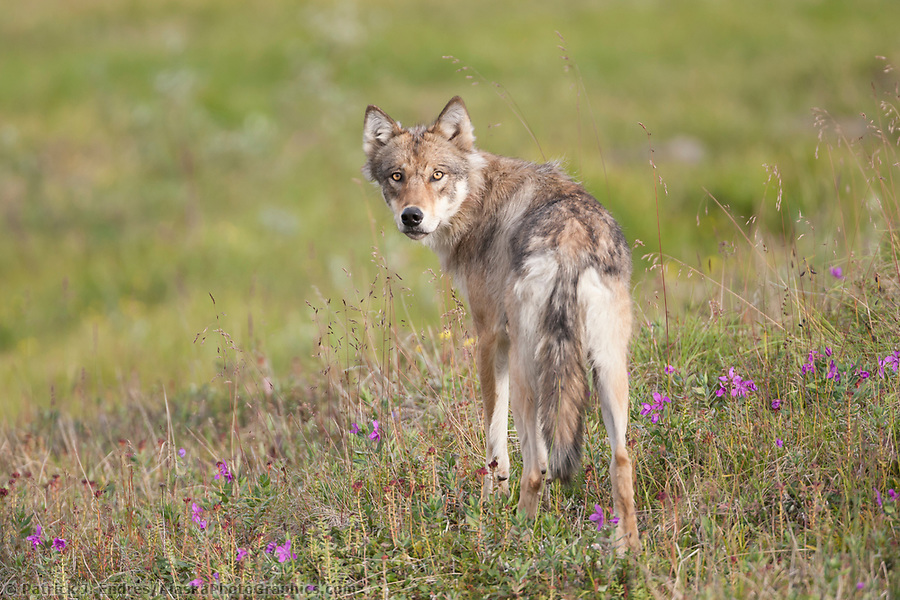 alaska wildlife photos: Wolf from the Grant Creek pack, Denali National Park, Interior, Alaska. (Patrick J. Endres / AlaskaPhotoGraphics.com)