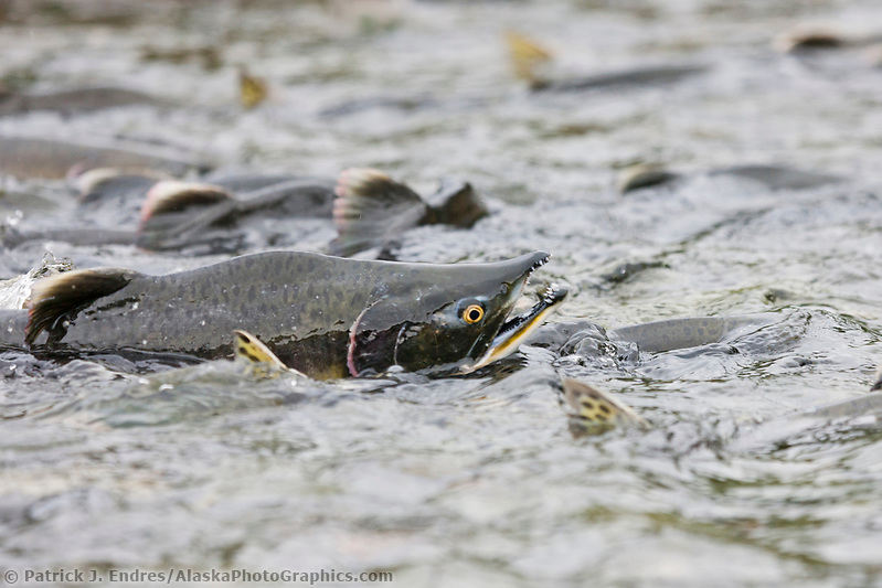 Pink salmon in stream along Western Prince William Sound, Chugach National Forest, Kenai Peninsula, southcentral, Alaska. (Patrick J. Endres / AlaskaPhotoGraphics.com)