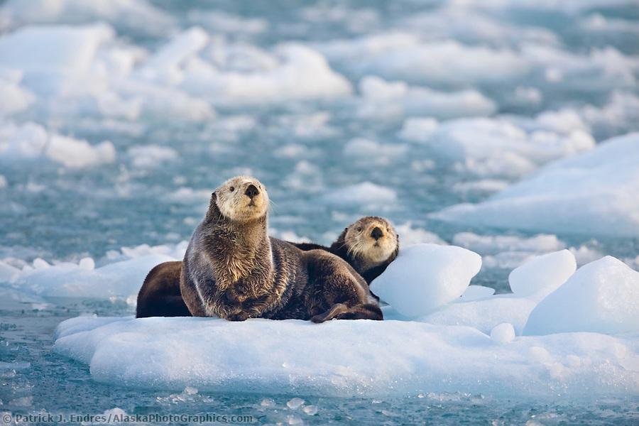 Sea otters in glacier ice, northern Prince William Sound, Alaska. (Patrick J. Endres / AlaskaPhotoGraphics.com)