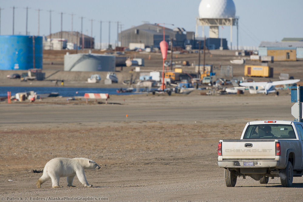 Polar Bear in the village of Kaktovik, Barter Island, Arctic, Alaska (Patrick J. Endres / AlaskaPhotoGraphics.com)