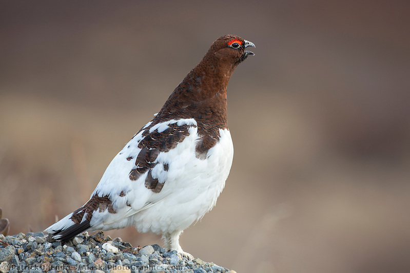 Male willow ptarmigan in spring plumage, Denali National Park, Alaska. (Patrick J. Endres / AlaskaPhotoGraphics.com)