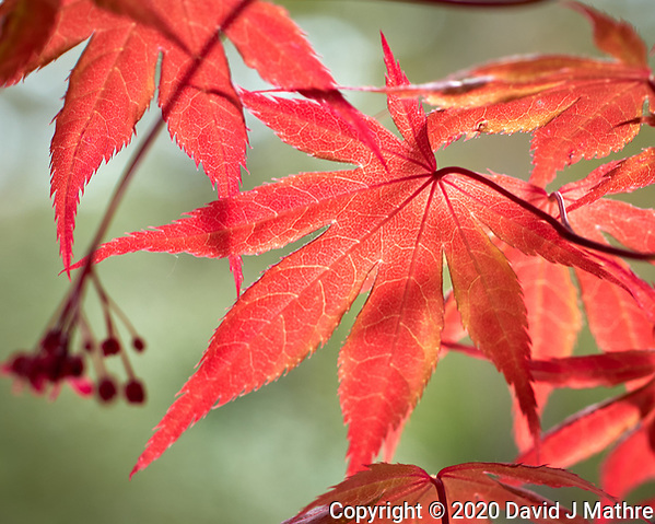 Backlit spring red Maple leaves.  Image taken with a Leica CL camera and 60 mm f/2.8 lens (ISO 100, 60 mm, f/4, 1/200 sec). (DAVID J MATHRE)