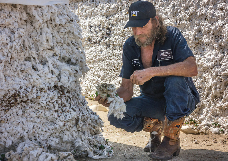 Truck driver Donald Brawley pulls a handful of ruined cotton from a module at the United Agricultural Cooperative gin, Sept. 3, 2017, in Danevang, Texas. Brawley, who works for Lopez Trucking, is waiting to transport the cotton, but much of it was ruined after Hurricane Harvey dumped several feet of rain in Texas. Small business owners in the rural area, from gin owners to the cotton farmers to the truck drivers, have struggled to recover since Harvey destroyed what was expected to be one of the best cotton crops in a decade. (Photo by Carmen K. Sisson/Cloudybright)