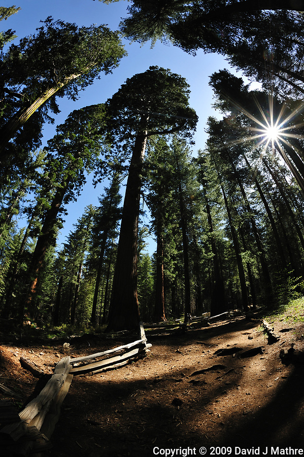 Sun Burst through the Giant Sequoias. Tuolumne Grove, Yosemite National Park - located near Crane Flat. Composite of three images taken with a Nikon D700 camera and 16 mm f/2.8 fisheye lens. (David J Mathre)