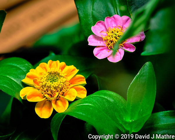 Yellow Thumbelina Zinnia Flower. AeroGarden Farm 04 Left. Fuji X-T3 camera and 80 mm f/2.8 OIS macro lens (ISO 800, 80 mm, f/11, 1/30 sec). (DAVID J MATHRE)