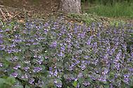 Gewöhnlicher Gundermann, Efeublättriger Gundermann, Glechoma hederacea, Alehoof, Ground Ivy, Lierre terrestre (Frank Hecker)