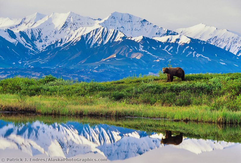 Boar grizzly, reflection in kettle pond, Alaska mountain range, Denali National Park, Alaska (Patrick J. Endres / AlaskaPhotoGraphics.com)