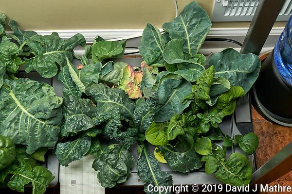 AeroGarden Farm 03 Right Tray at 28 days. R01-R03 Cauliflower; R07-R09 Kale; R10-R12 Cilantro; Image taken with a Leica TL-2 camera and 35 mm f/1.4 lens (ISO 640, 35 mm, f/11, 1/40 sec). (DAVID J MATHRE)