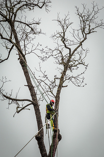 Performing one of the most dangerous jobs in northern California, a Branum Tree Care worker prepares to remove a dead tree behind a house on Cedar Street on a cool morning in Calistoga. (Clark James Mishler)