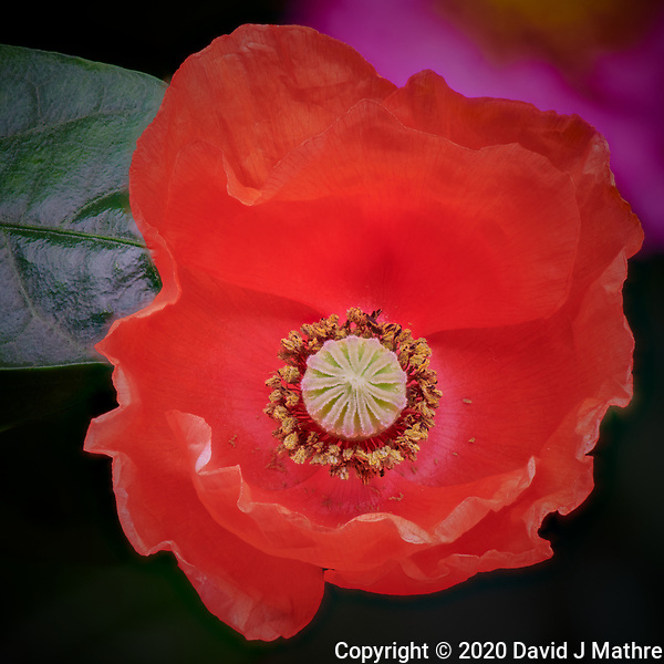 Red Poppy flower. Composite of 51 focus stacked images taken with a Nikon D850 camera and 105 mm f/2.8 macro lens + 2.0x TCE-III (ISO 100, 210 mm, f/8, 1/30 sec). Raw images processed with Capture One Pro and Helicon Focus Pro. (DAVID J MATHRE)