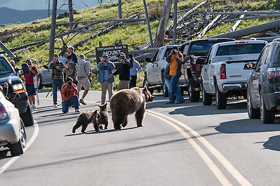 Yellowstone visitors get much to close to the Dunraven Sow and her two cubs near Chittendon Road. (Sandy Sisti)