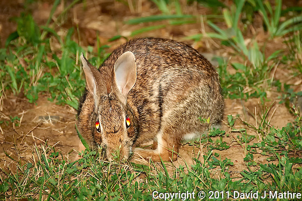 Rabbit with Bloodshot Eyes. Summer Nature in New Jersey. Image taken with a Nikon D700 and 28-300 mm VR lens (ISO 800, 300 mm, f/5.6, 1/60 sec) using the pop-up flash. (David J Mathre)