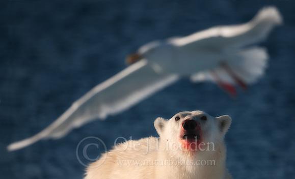 BIRDWATCHER - Polar bear (Ursus maritimus) looking at a Glaucous Gull (Larus hyperboreus) in Svalbard (Ole Jørgen Liodden)
